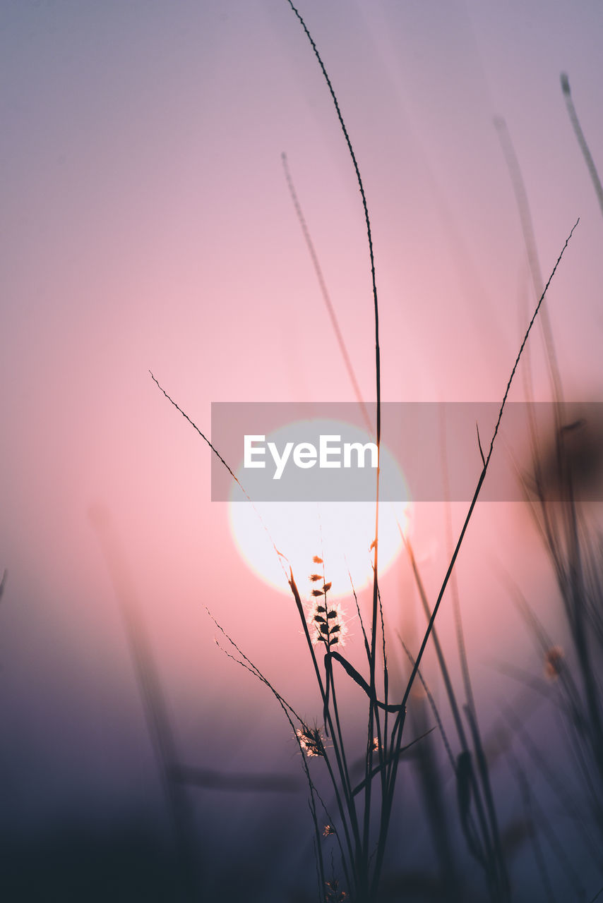 beauty in nature, sky, plant, sunset, growth, tranquility, no people, nature, close-up, sun, fragility, vulnerability, focus on foreground, sunlight, scenics - nature, selective focus, outdoors, tranquil scene, flower, flowering plant, blade of grass, stalk, dandelion seed