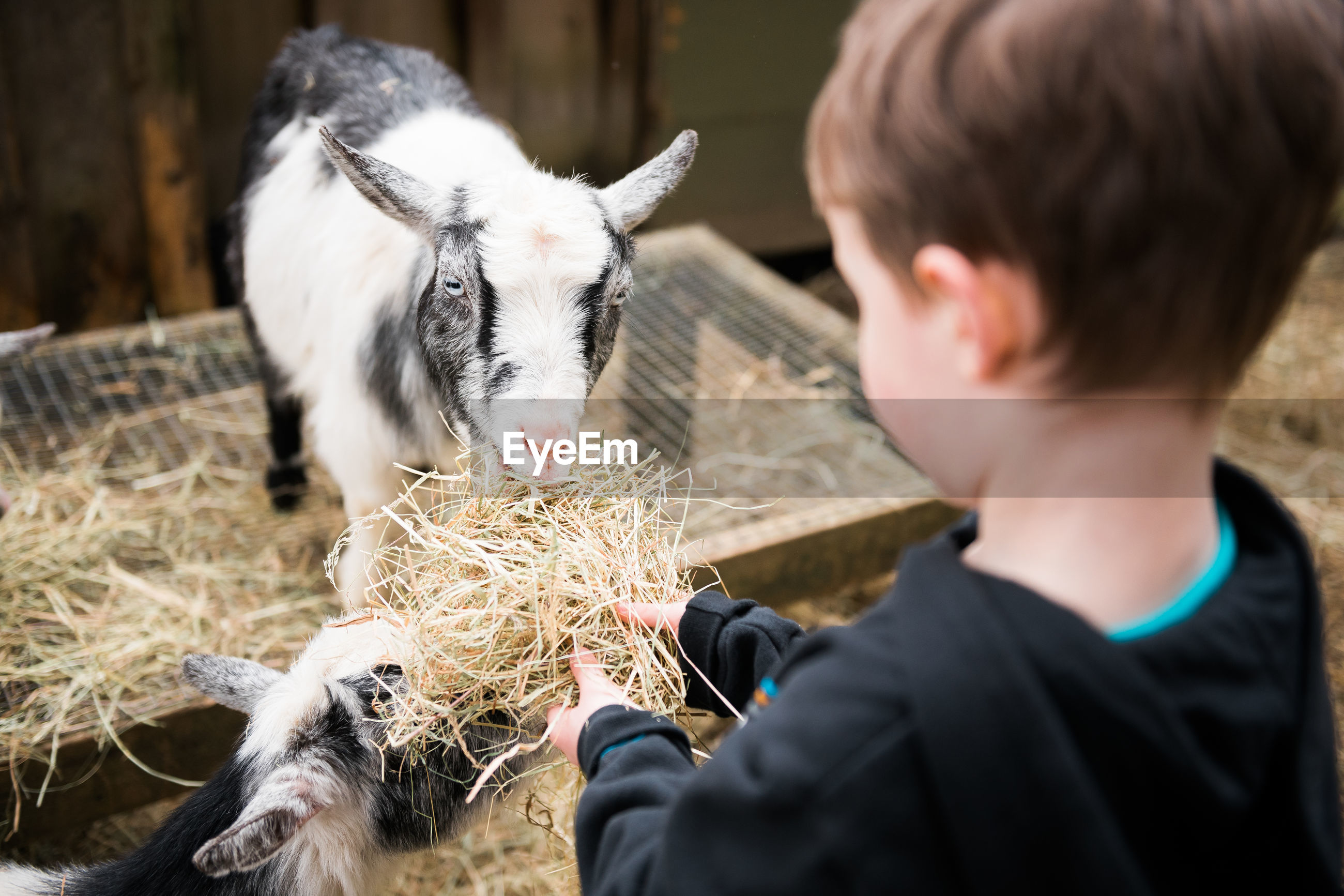 Close-up of boy feeding goats