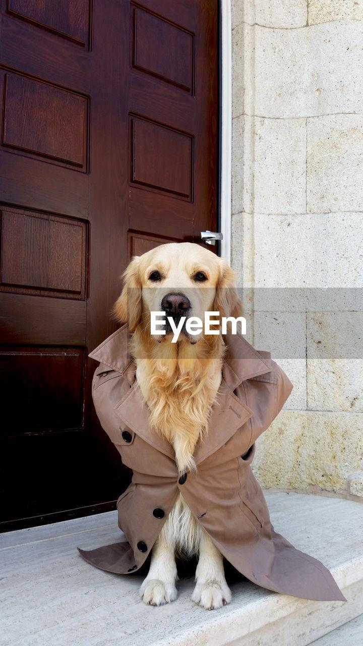 Portrait of golden retriever wearing jacket by door