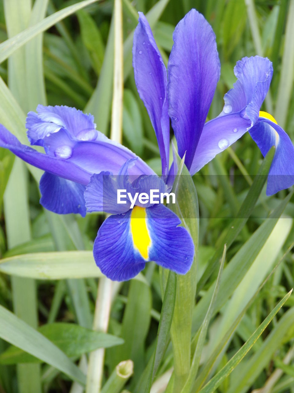 flowering plant, flower, plant, fragility, vulnerability, freshness, growth, beauty in nature, petal, purple, close-up, inflorescence, flower head, nature, day, no people, iris, field, blue, iris - plant, outdoors, springtime, crocus