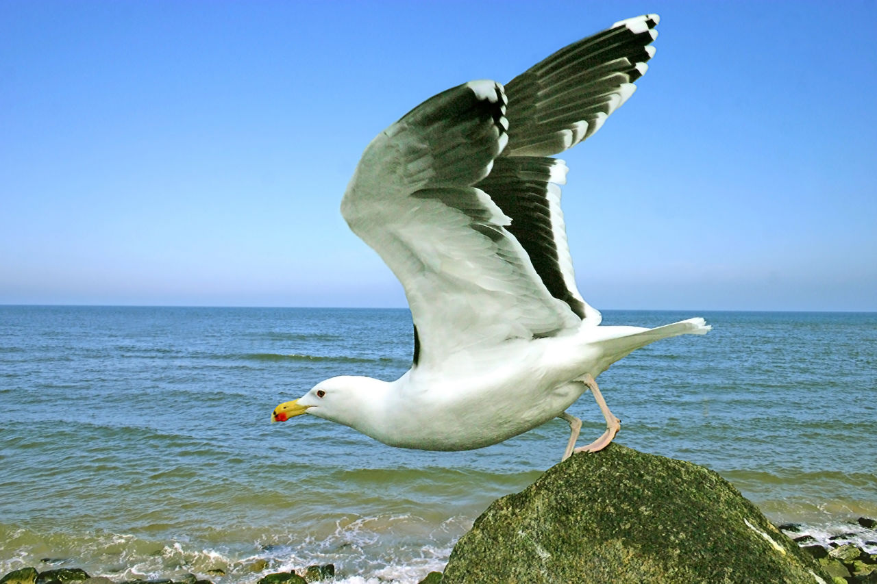 Seagull Taking Off From Sea Shore Against Clear Blue Sky
