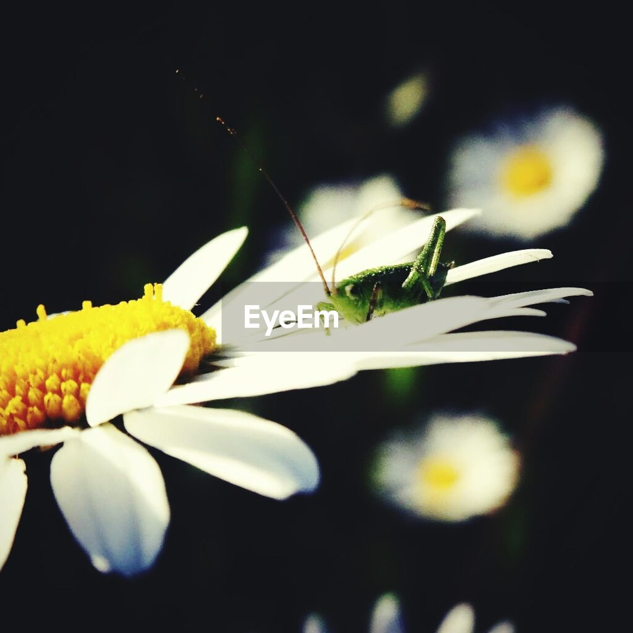 flower, petal, freshness, fragility, close-up, flower head, nature, beauty in nature, plant, growth, no people, yellow, focus on foreground, outdoors, night, animal themes