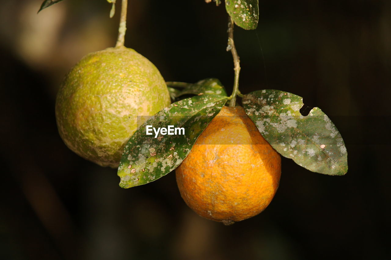 fruit, citrus fruit, freshness, orange - fruit, food and drink, healthy eating, hanging, close-up, no people, growth, food, leaf, tree, focus on foreground, outdoors, day, orange tree, branch, nature