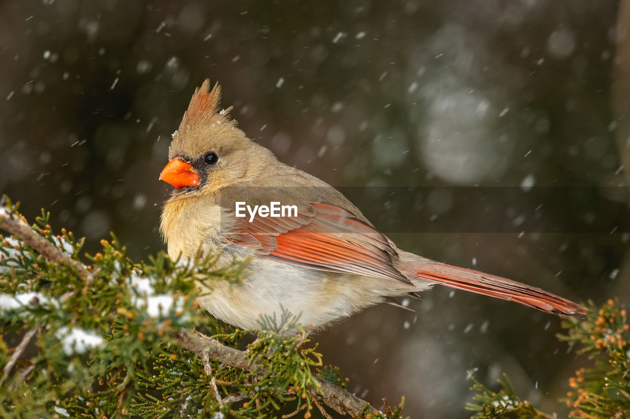 bird, animal themes, vertebrate, animal, animal wildlife, animals in the wild, one animal, perching, day, focus on foreground, nature, no people, plant, close-up, outdoors, tree, cold temperature, winter, branch, snowing
