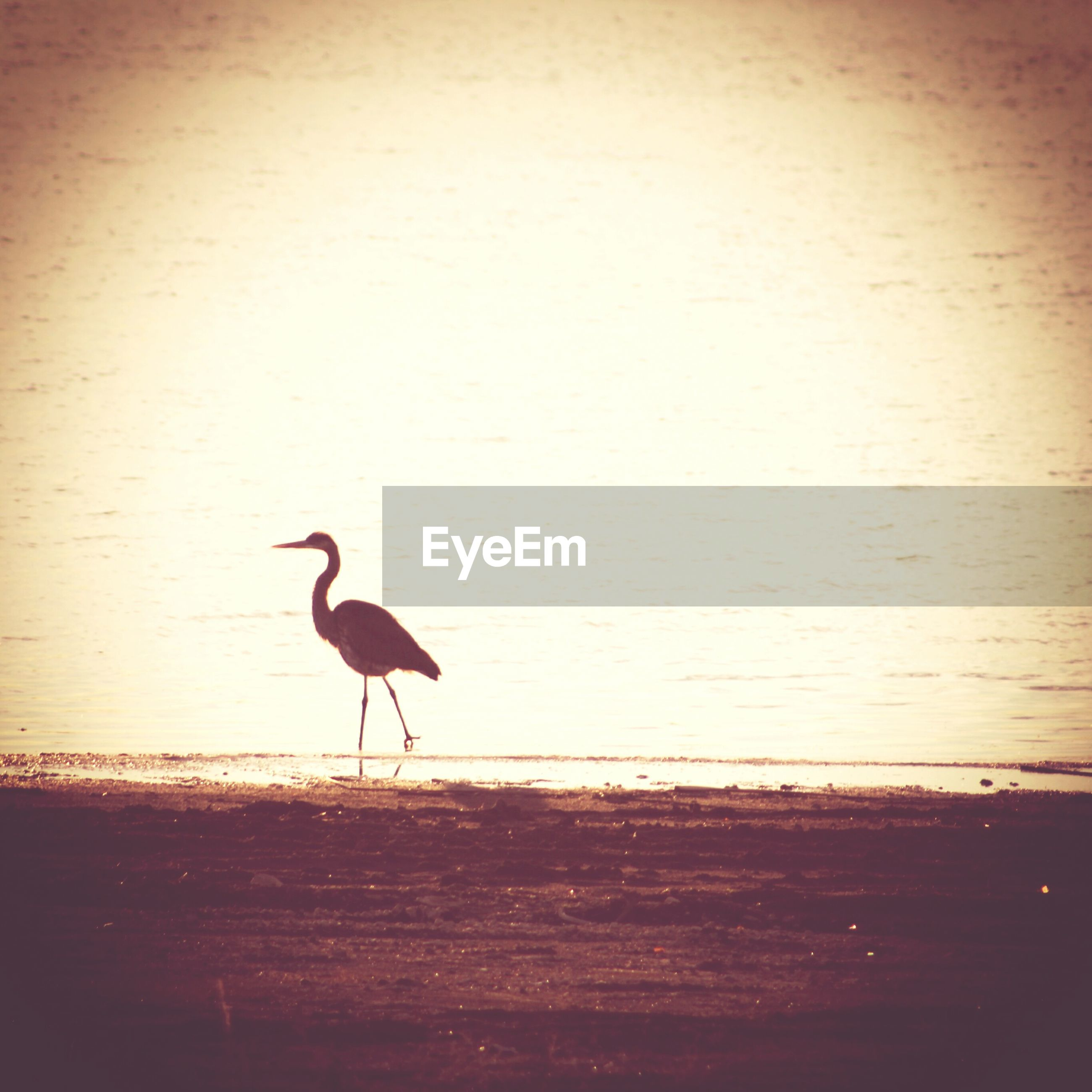 bird, animal themes, one animal, full length, wildlife, animals in the wild, water, side view, beach, sea, walking, nature, copy space, sand, outdoors, seagull, sunset, shore, horizon over water, beauty in nature