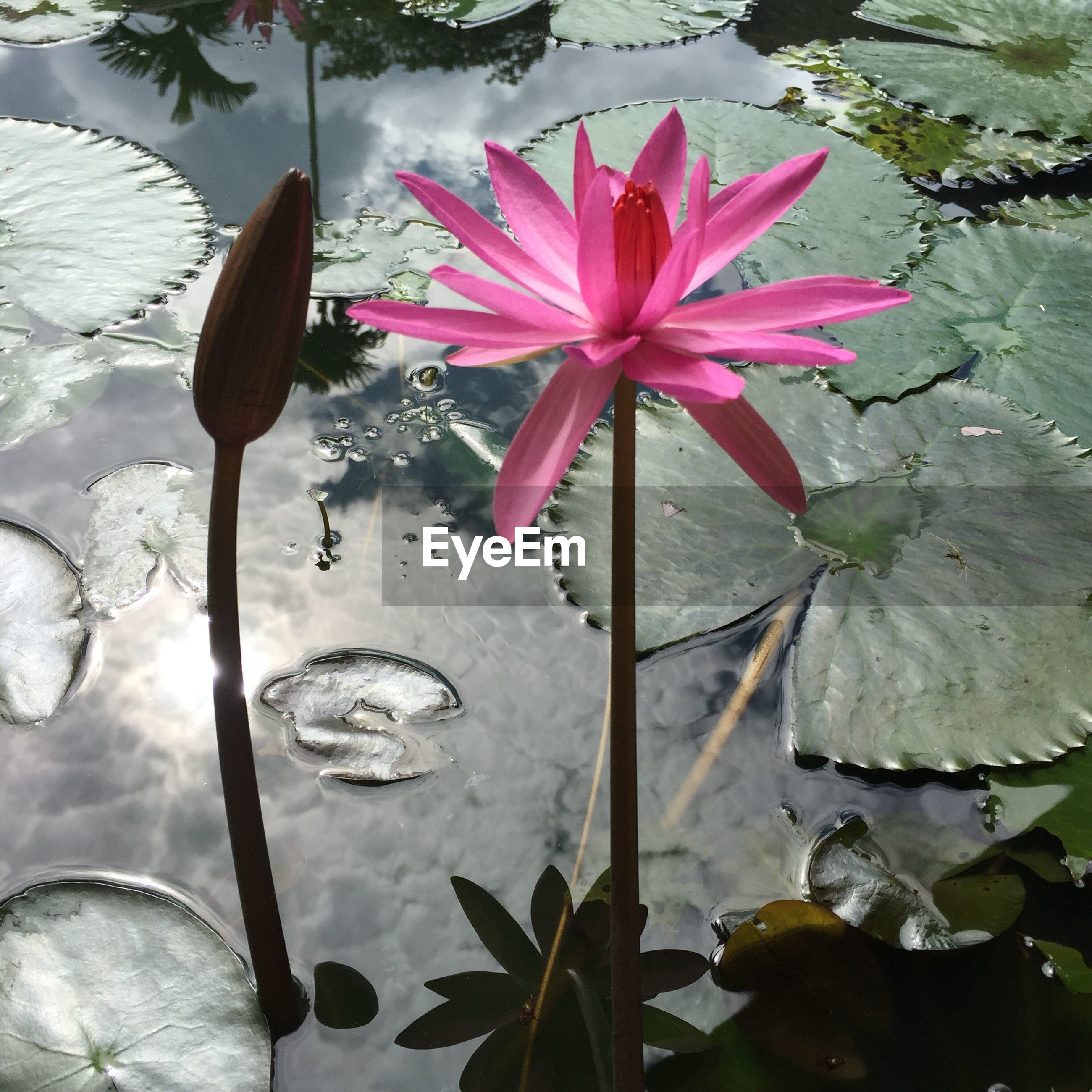 CLOSE-UP OF WATER LILY IN POND