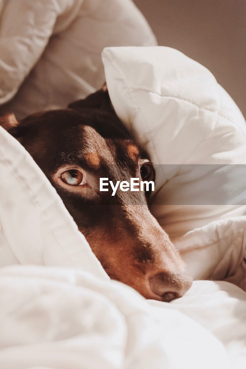 dog, canine, mammal, one animal, domestic animals, domestic, animal themes, animal, pets, vertebrate, bed, indoors, furniture, relaxation, animal body part, no people, portrait, looking at camera, brown, resting, animal head, duvet, jack russell terrier