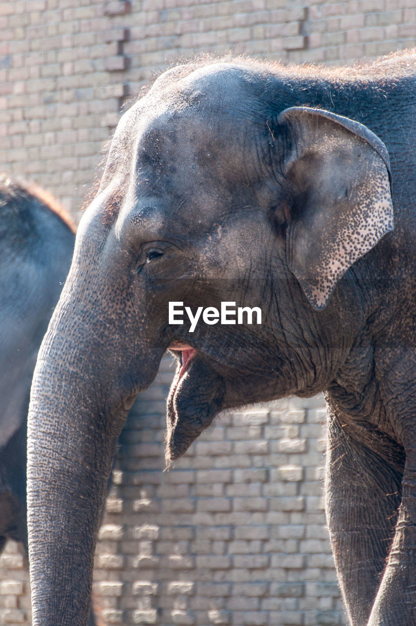 animal themes, animals in the wild, one animal, animal wildlife, mammal, elephant, day, no people, outdoors, domestic animals, animal trunk, nature, close-up
