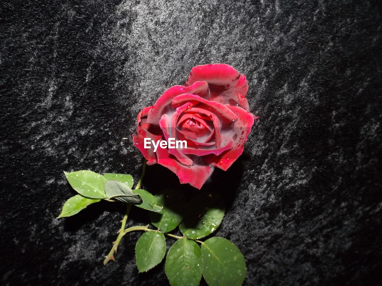 flower, petal, rose - flower, fragility, leaf, plant, nature, red, flower head, beauty in nature, freshness, growth, no people, close-up, blooming, outdoors, day, periwinkle
