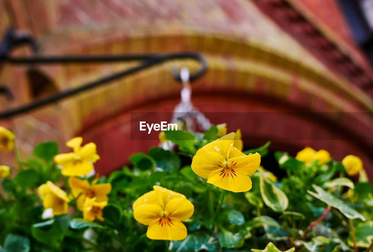 flowering plant, flower, plant, freshness, vulnerability, fragility, beauty in nature, yellow, petal, close-up, no people, growth, flower head, inflorescence, nature, focus on foreground, selective focus, day, pansy, outdoors, pollen