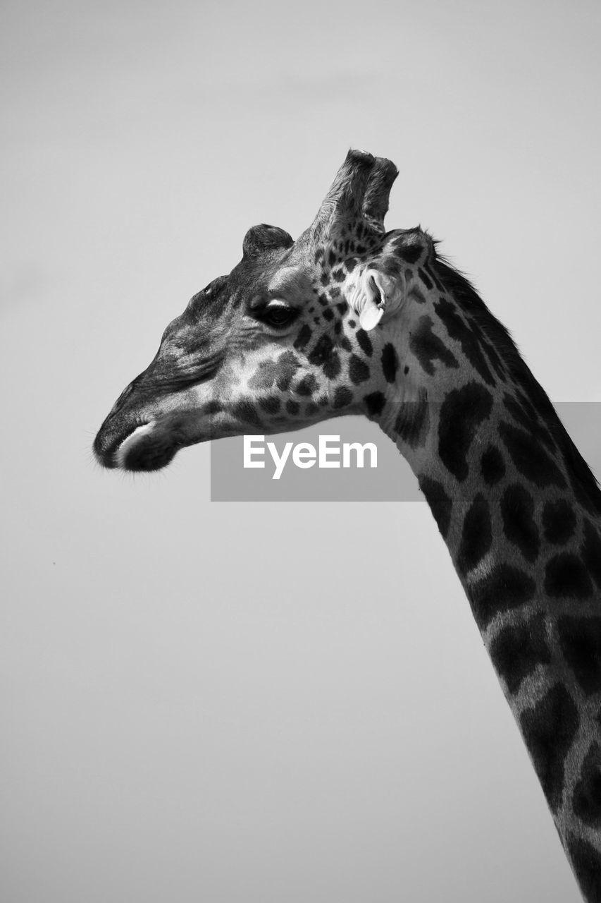 one animal, animal, giraffe, animal wildlife, animal themes, mammal, animal body part, animals in the wild, animal markings, animal head, animal neck, no people, copy space, vertebrate, side view, safari, herbivorous, sky, close-up, profile view
