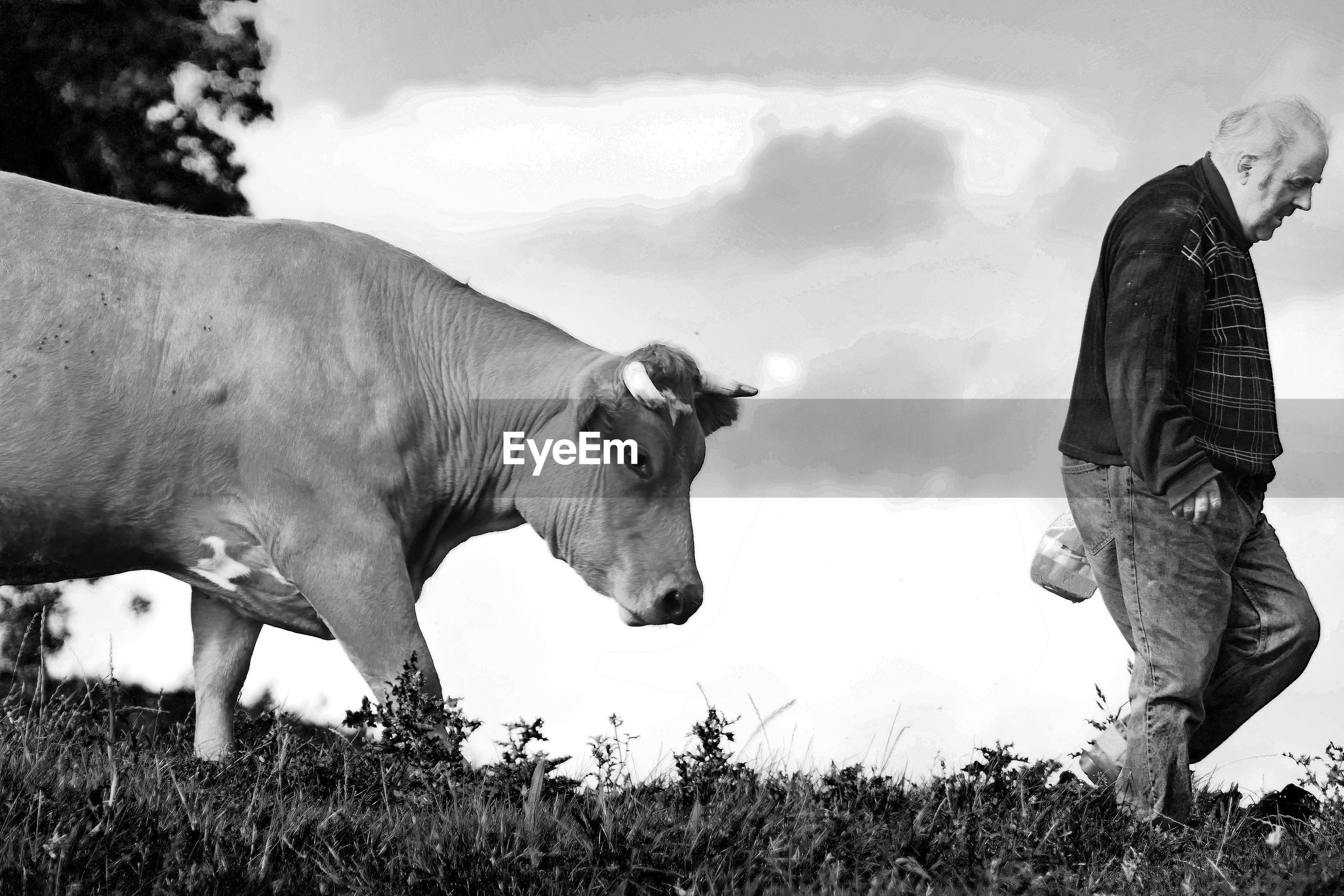 Man with cow walking on field against sky