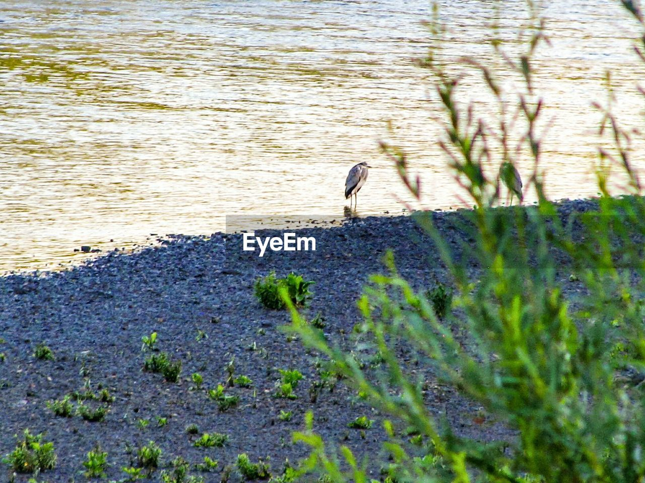 animal wildlife, plant, animals in the wild, water, nature, animal, one animal, animal themes, day, bird, vertebrate, land, beach, no people, selective focus, lake, sunlight, beauty in nature, outdoors
