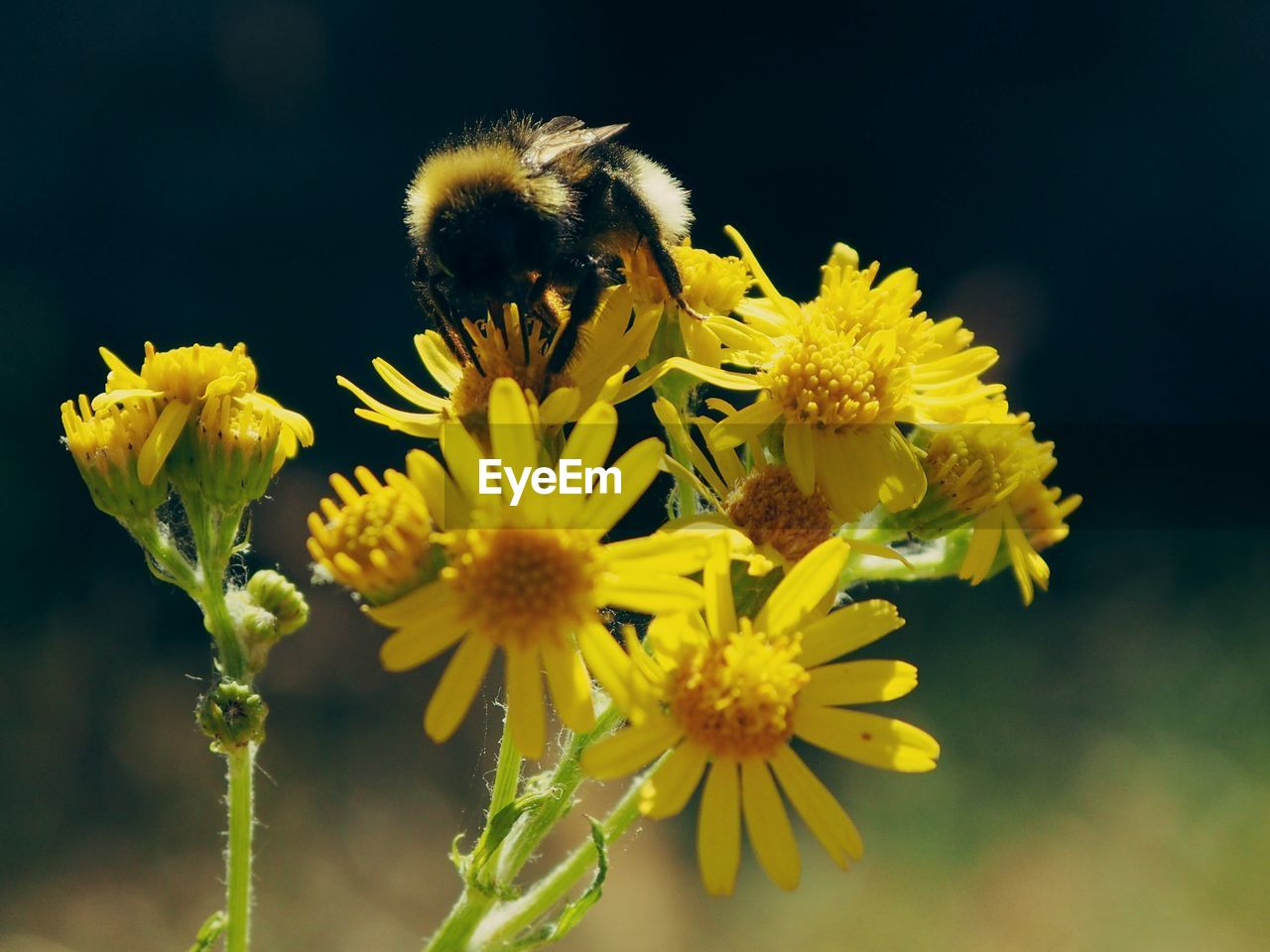 flowering plant, flower, fragility, vulnerability, animal themes, yellow, flower head, animal, animals in the wild, petal, beauty in nature, animal wildlife, freshness, plant, one animal, close-up, bee, invertebrate, insect, growth, pollination, no people, pollen, bumblebee