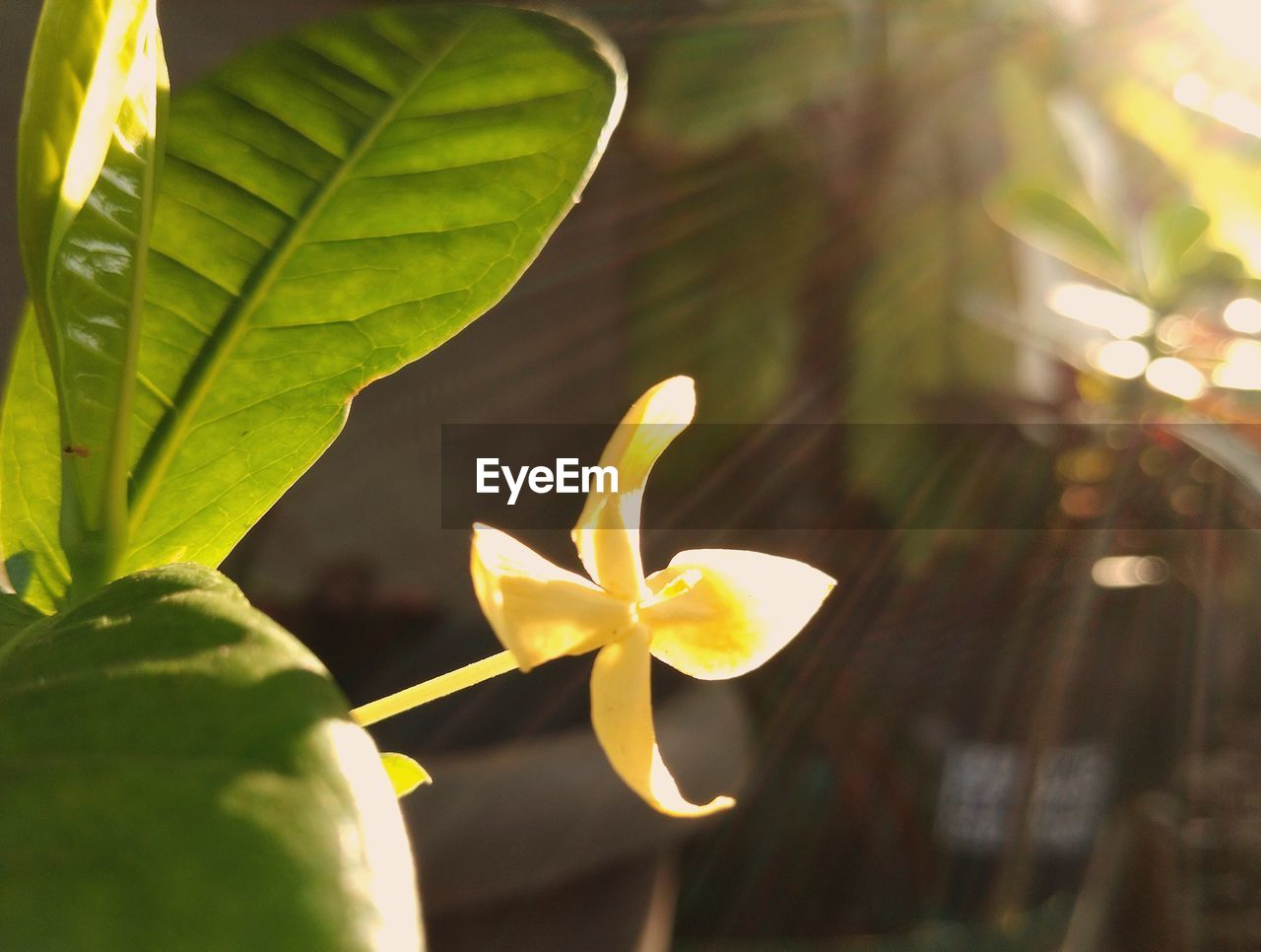 leaf, growth, nature, petal, beauty in nature, close-up, flower, fragility, plant, freshness, outdoors, frangipani, day, green color, no people, flower head, blooming