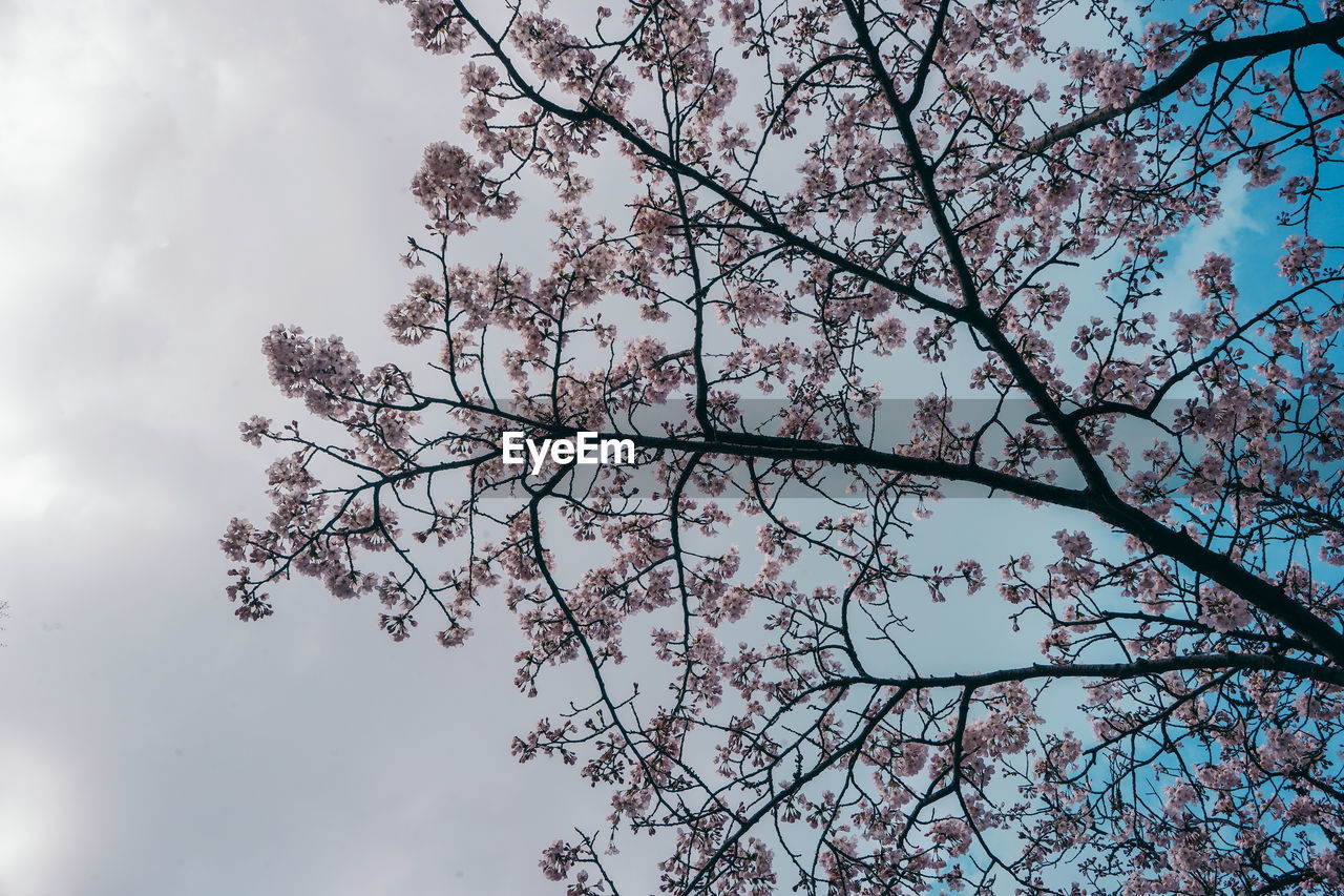 tree, plant, beauty in nature, low angle view, branch, sky, flowering plant, flower, growth, nature, blossom, fragility, tranquility, no people, day, freshness, vulnerability, outdoors, springtime, cloud - sky, cherry blossom, cherry tree, spring