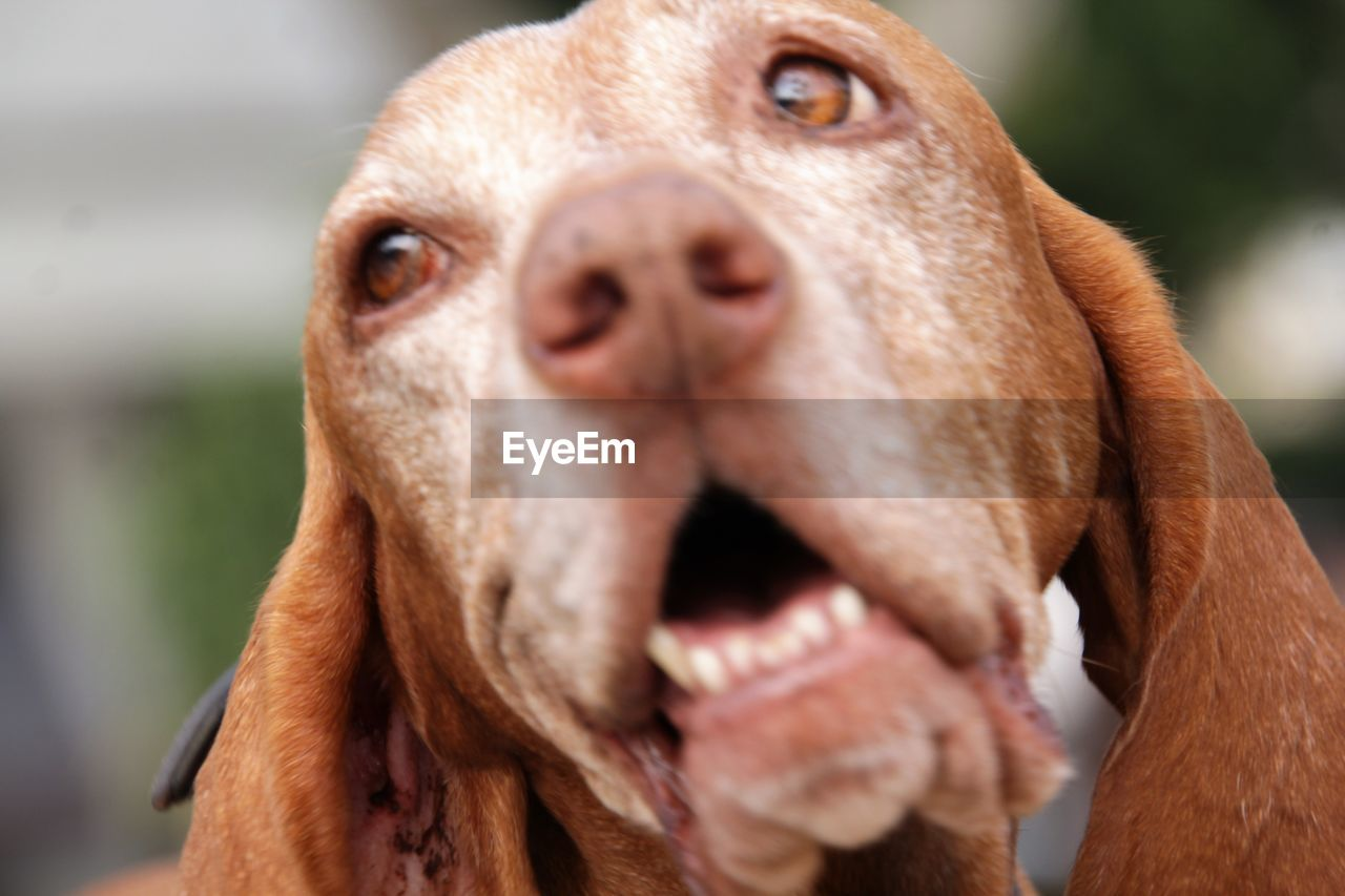 animal themes, mammal, animal, one animal, domestic animals, domestic, animal body part, close-up, vertebrate, pets, focus on foreground, dog, brown, canine, animal head, no people, day, mouth, mouth open, looking, snout, animal mouth, animal nose, weimaraner, herbivorous, animal eye