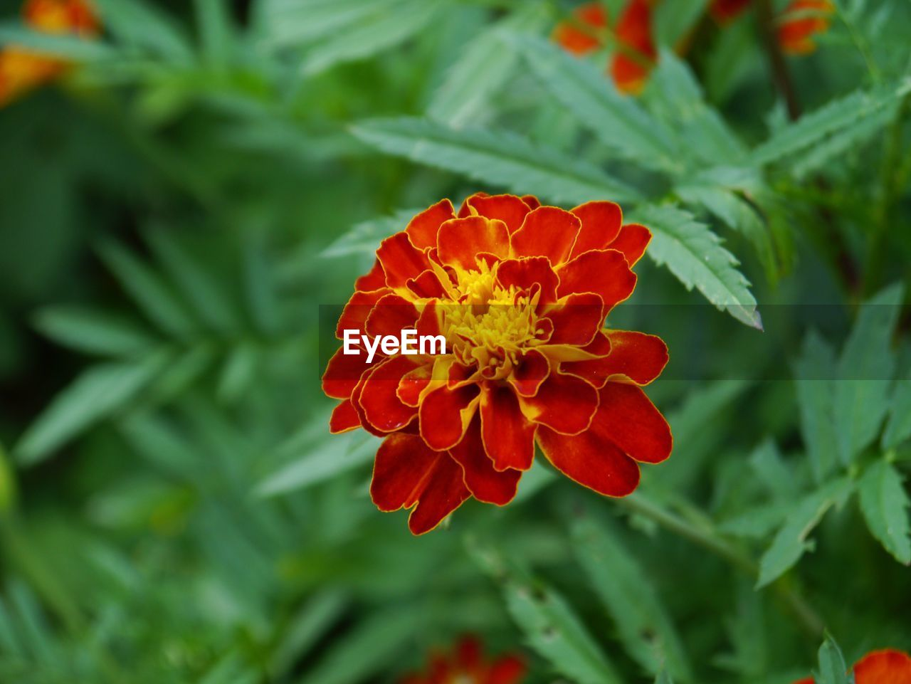 flower, beauty in nature, nature, red, fragility, growth, freshness, petal, flower head, plant, blooming, no people, day, focus on foreground, outdoors, green color, zinnia, close-up