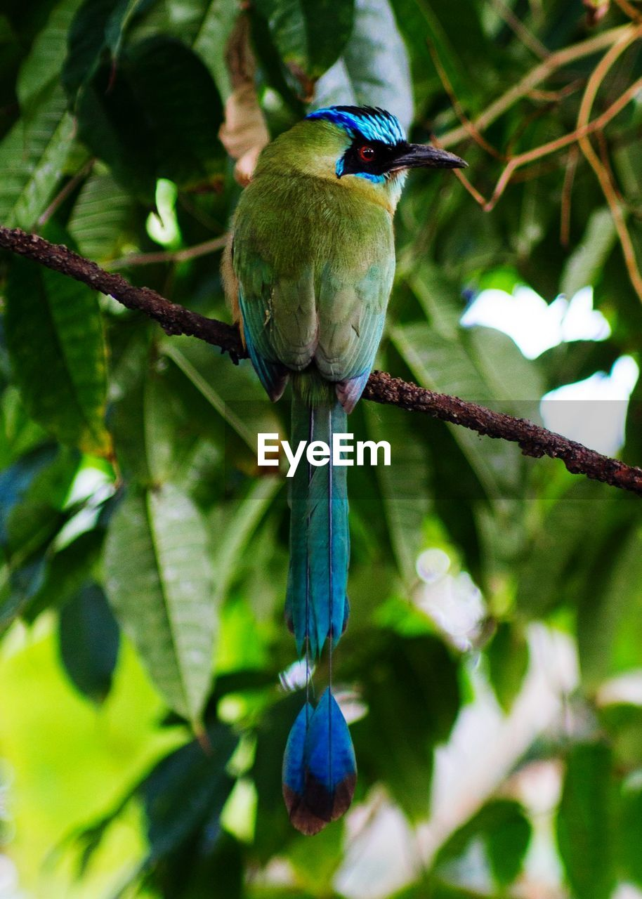 animals in the wild, animal themes, bird, one animal, perching, animal wildlife, focus on foreground, blue, branch, tree, green color, nature, beauty in nature, day, no people, outdoors, plant, leaf, kingfisher, close-up