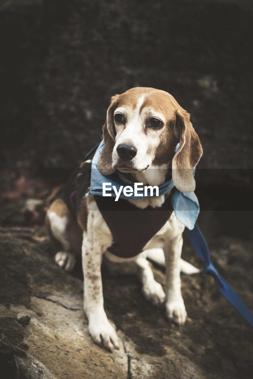 one animal, pets, canine, dog, mammal, domestic animals, domestic, vertebrate, no people, portrait, looking, looking away, leash, flooring, beagle, indoors