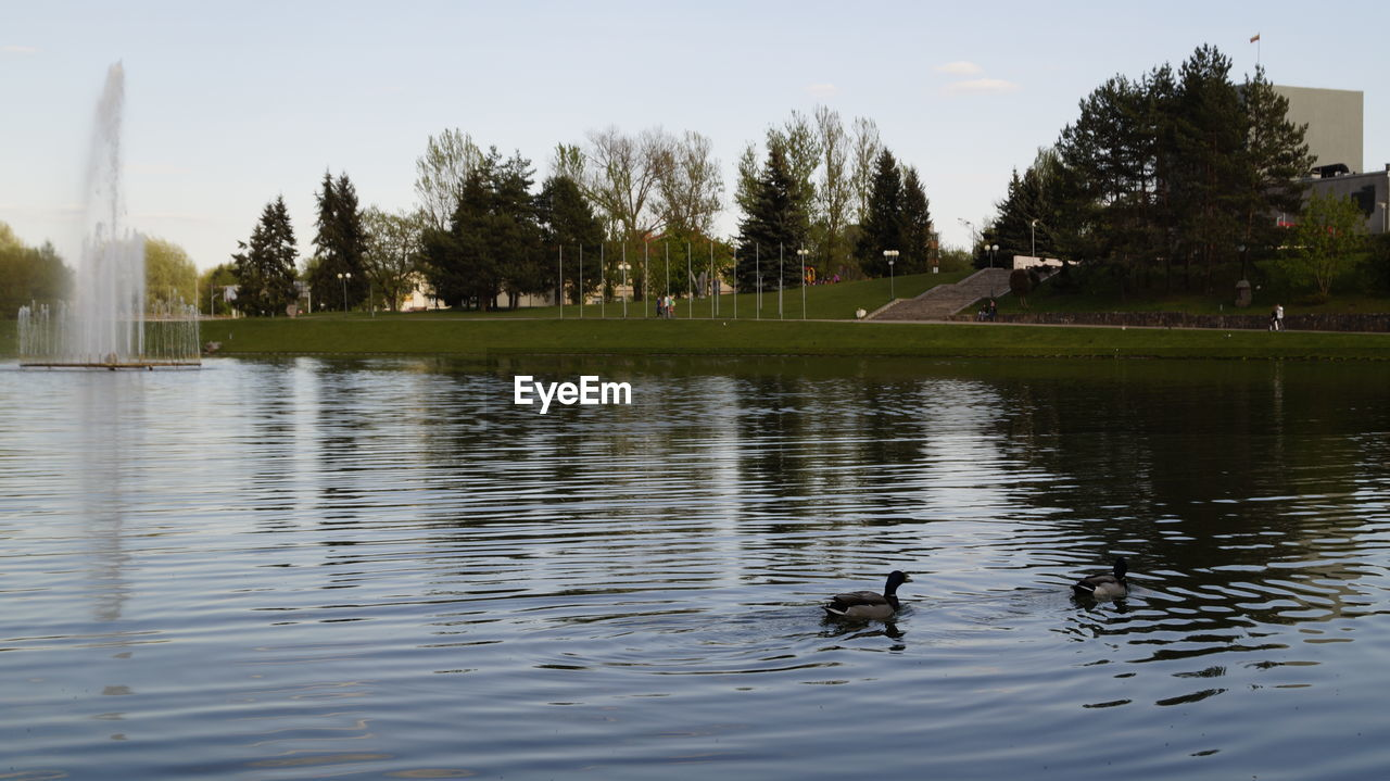 water, animal themes, animals in the wild, lake, duck, one animal, waterfront, animal wildlife, reflection, nature, swimming, tree, day, bird, water bird, no people, outdoors, duckling, swan, sky, beauty in nature, grass, mammal, black swan