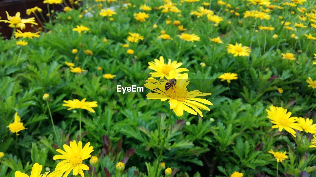flower, yellow, growth, fragility, nature, petal, beauty in nature, plant, freshness, flower head, blooming, field, day, outdoors, no people, green color, springtime, sunflower, close-up, black-eyed susan