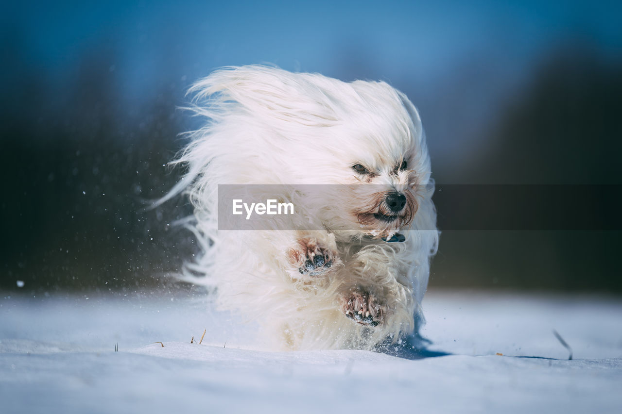 dog, one animal, canine, animal themes, pets, animal, mammal, domestic, domestic animals, vertebrate, white color, snow, cold temperature, no people, day, winter, nature, portrait, looking at camera, small, animal head