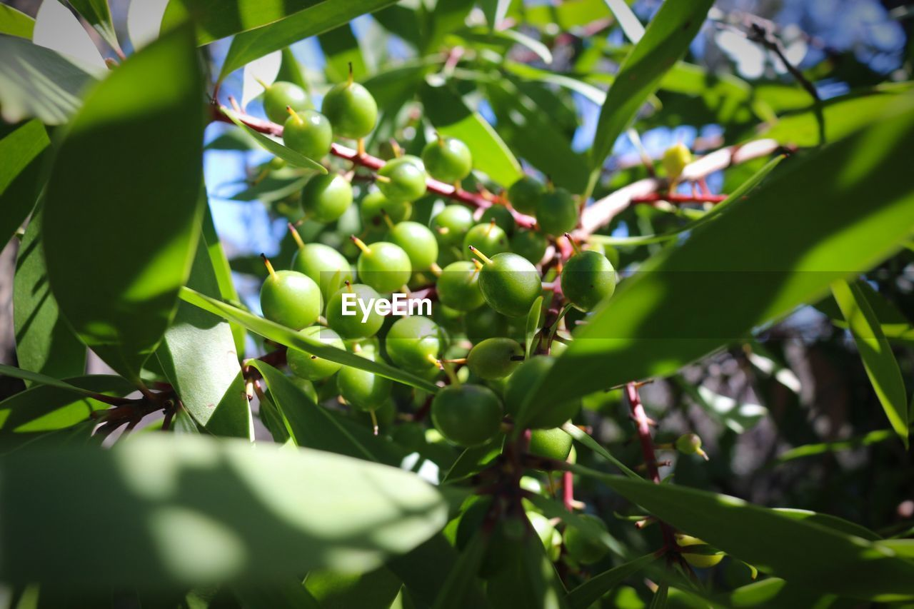 growth, food and drink, healthy eating, fruit, food, plant, green color, leaf, freshness, plant part, tree, close-up, day, beauty in nature, nature, no people, selective focus, wellbeing, low angle view, focus on foreground, outdoors