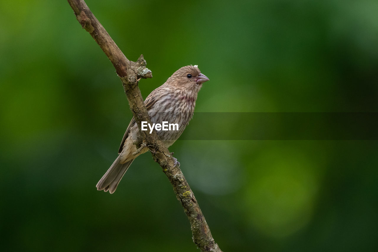 one animal, animals in the wild, animal wildlife, bird, animal themes, vertebrate, animal, perching, focus on foreground, branch, plant, no people, tree, day, nature, close-up, sparrow, outdoors, twig, green color