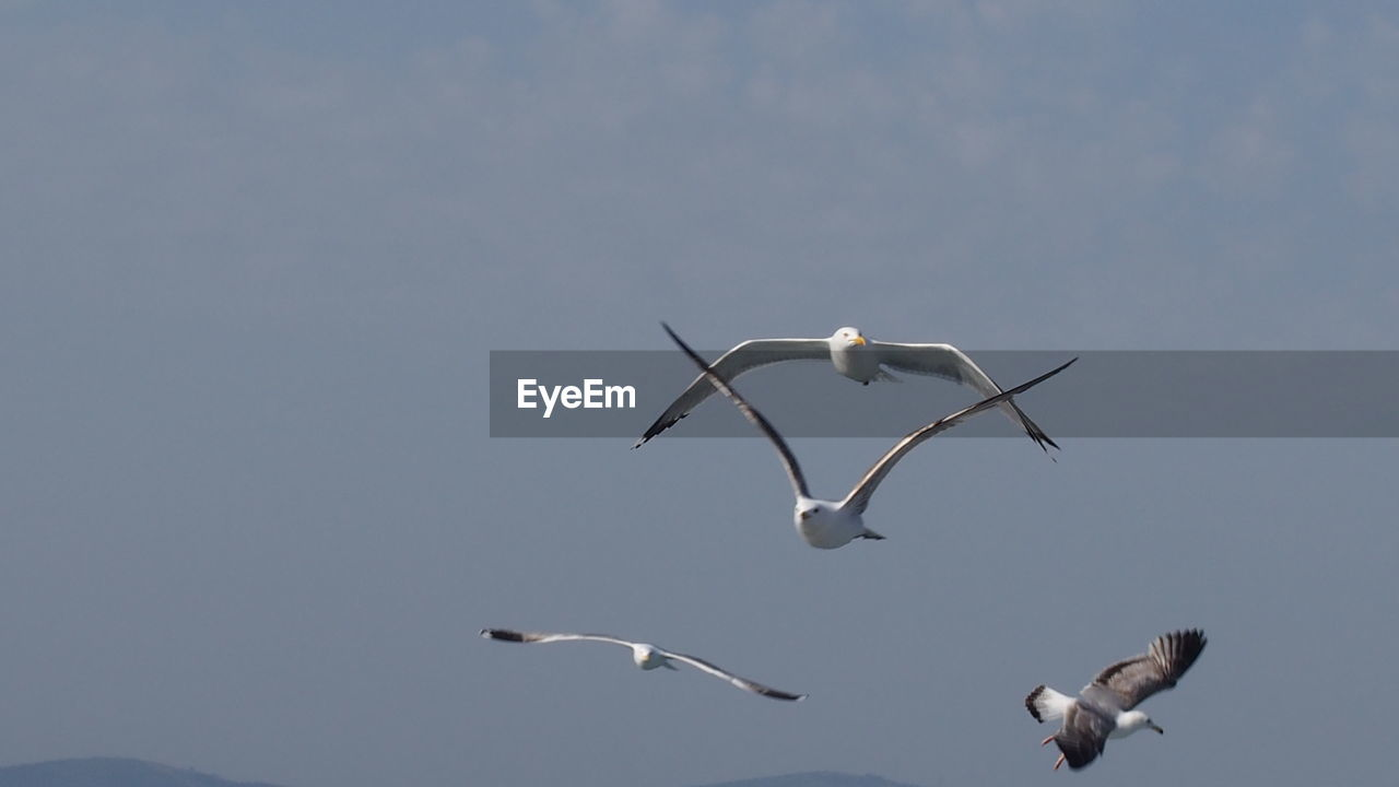 bird, animals in the wild, vertebrate, animal wildlife, animal themes, flying, animal, sky, group of animals, spread wings, low angle view, nature, mid-air, seagull, no people, day, beauty in nature, copy space, clear sky, flock of birds