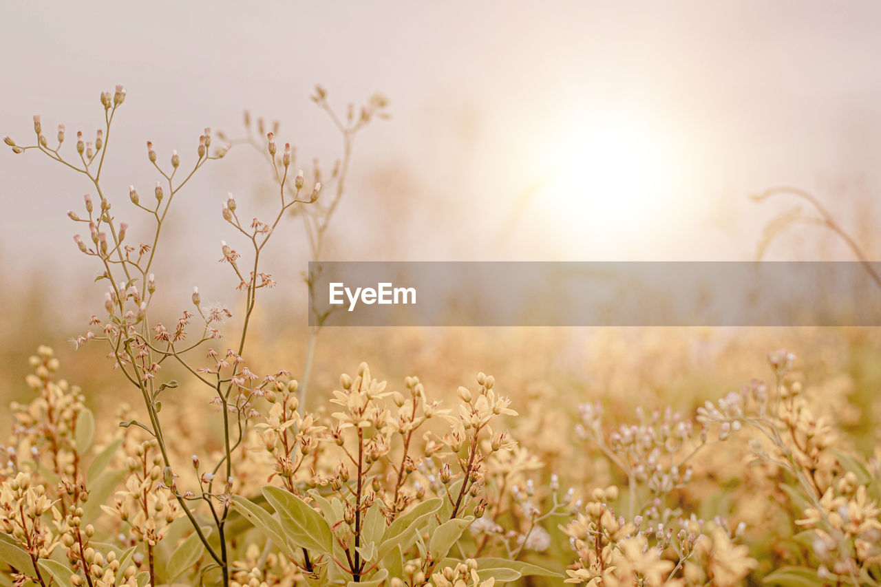 CLOSE-UP OF PLANTS ON FIELD AGAINST BRIGHT SUN