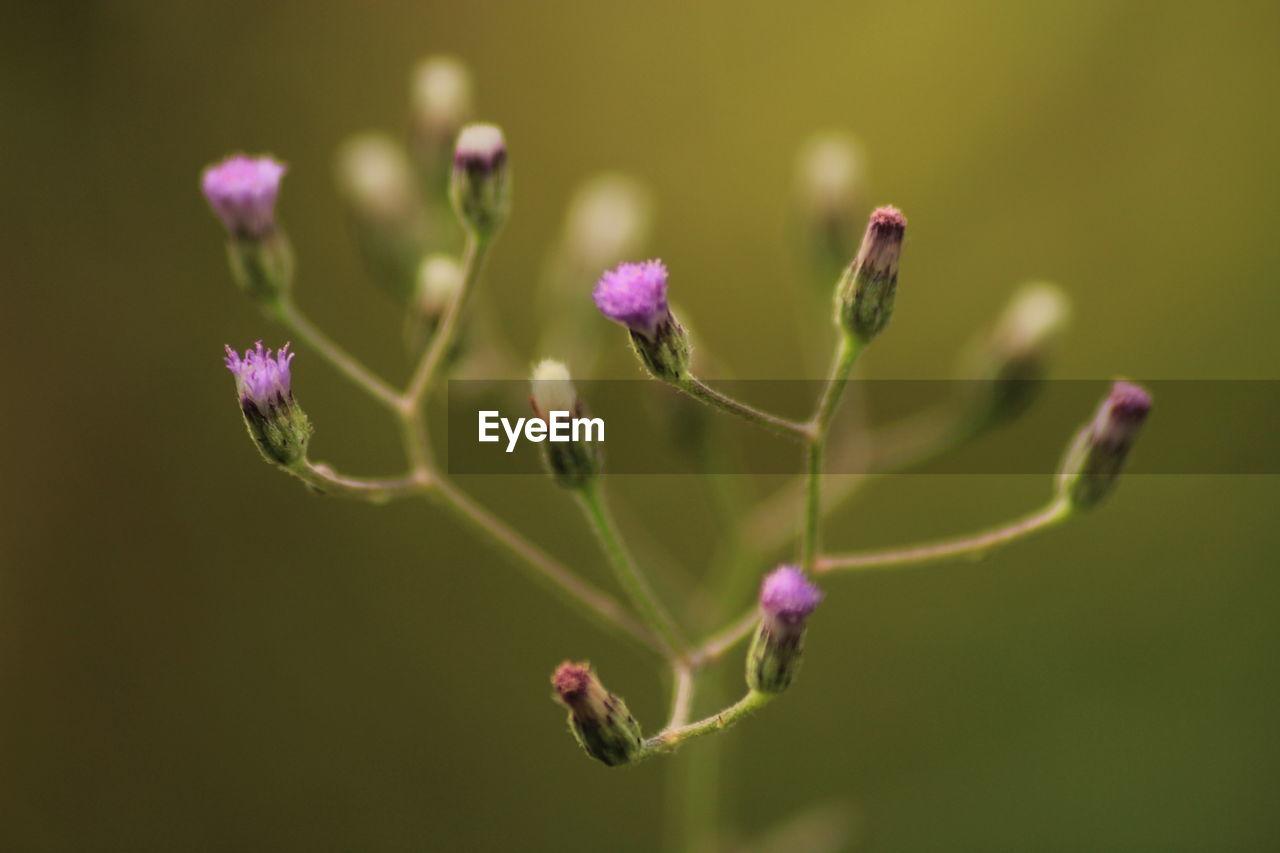 Close-Up Of Purple Buds