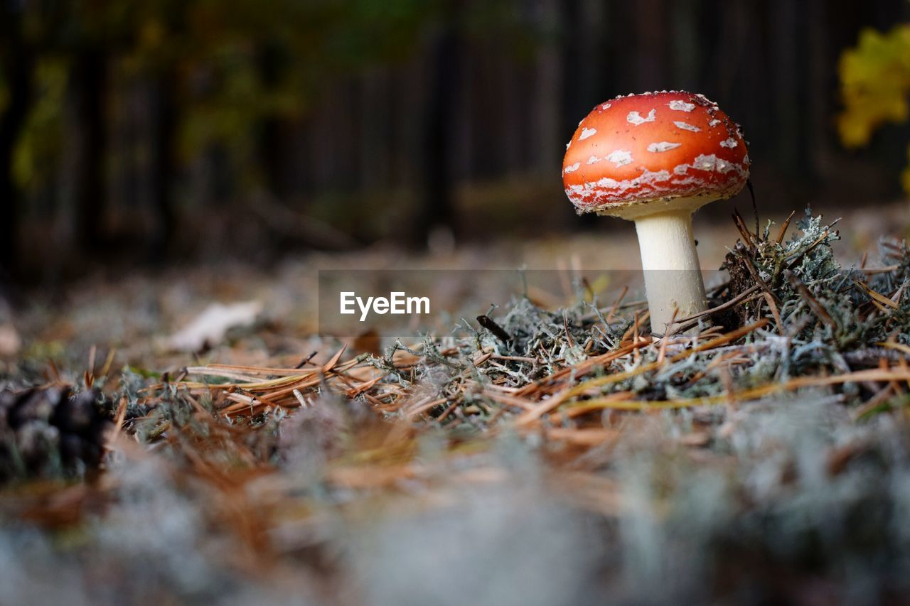 Fly Agaric Mushroom Growing In Forest