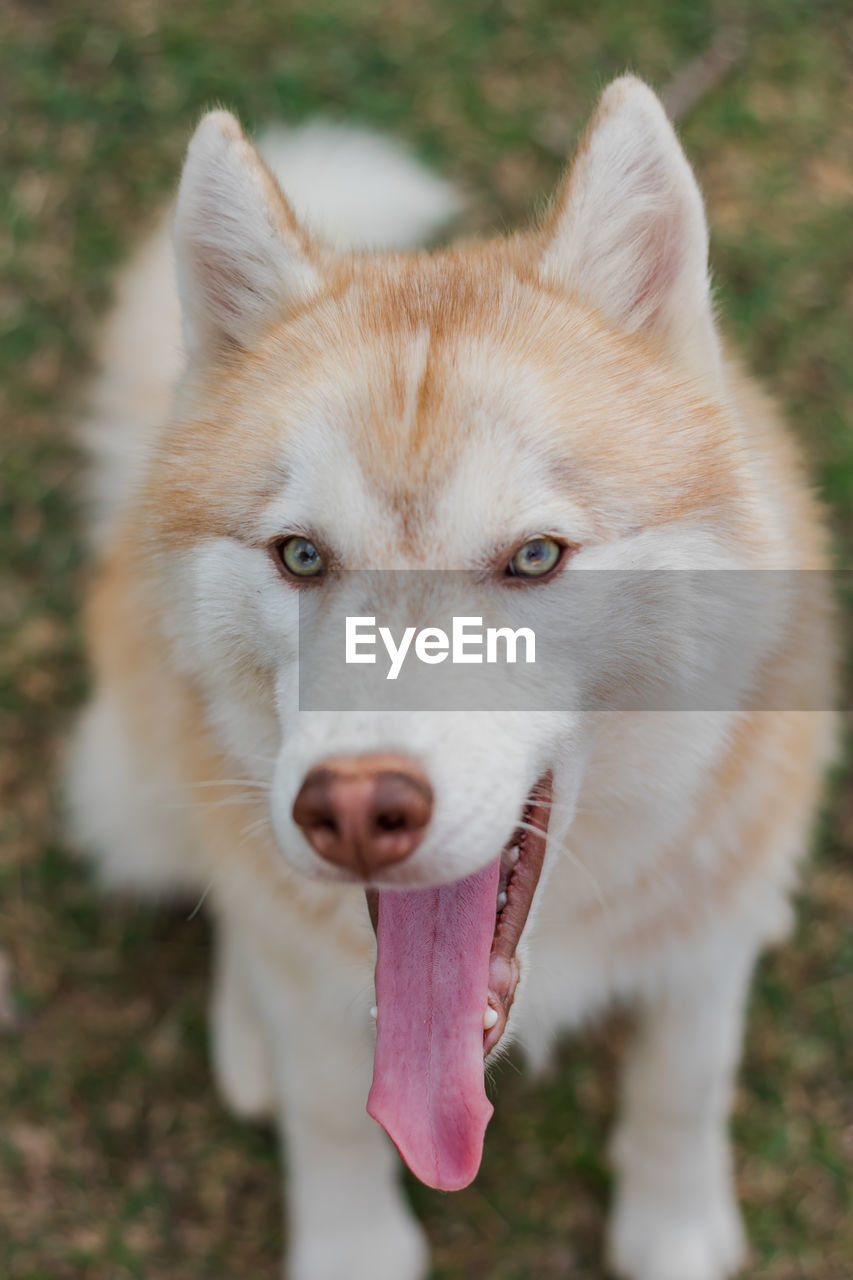 one animal, animal themes, animal, mammal, domestic animals, domestic, pets, dog, canine, vertebrate, focus on foreground, field, looking at camera, portrait, sticking out tongue, day, mouth open, land, mouth, no people, panting, outdoors, animal tongue, animal head, animal mouth