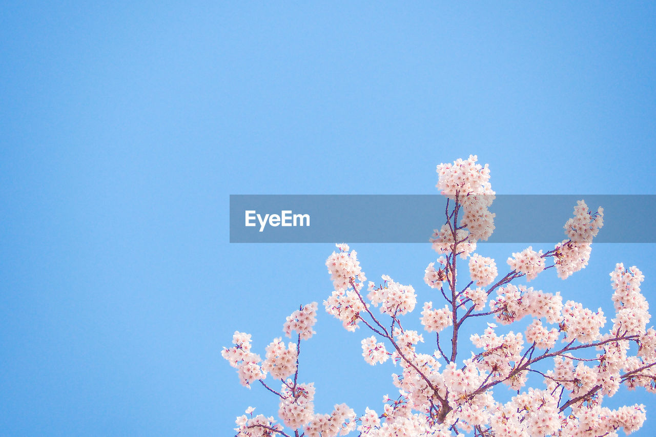 sky, low angle view, blue, nature, flower, tree, plant, flowering plant, fragility, branch, blossom, copy space, clear sky, growth, beauty in nature, day, no people, vulnerability, springtime, cherry blossom, pink color, cherry tree, outdoors