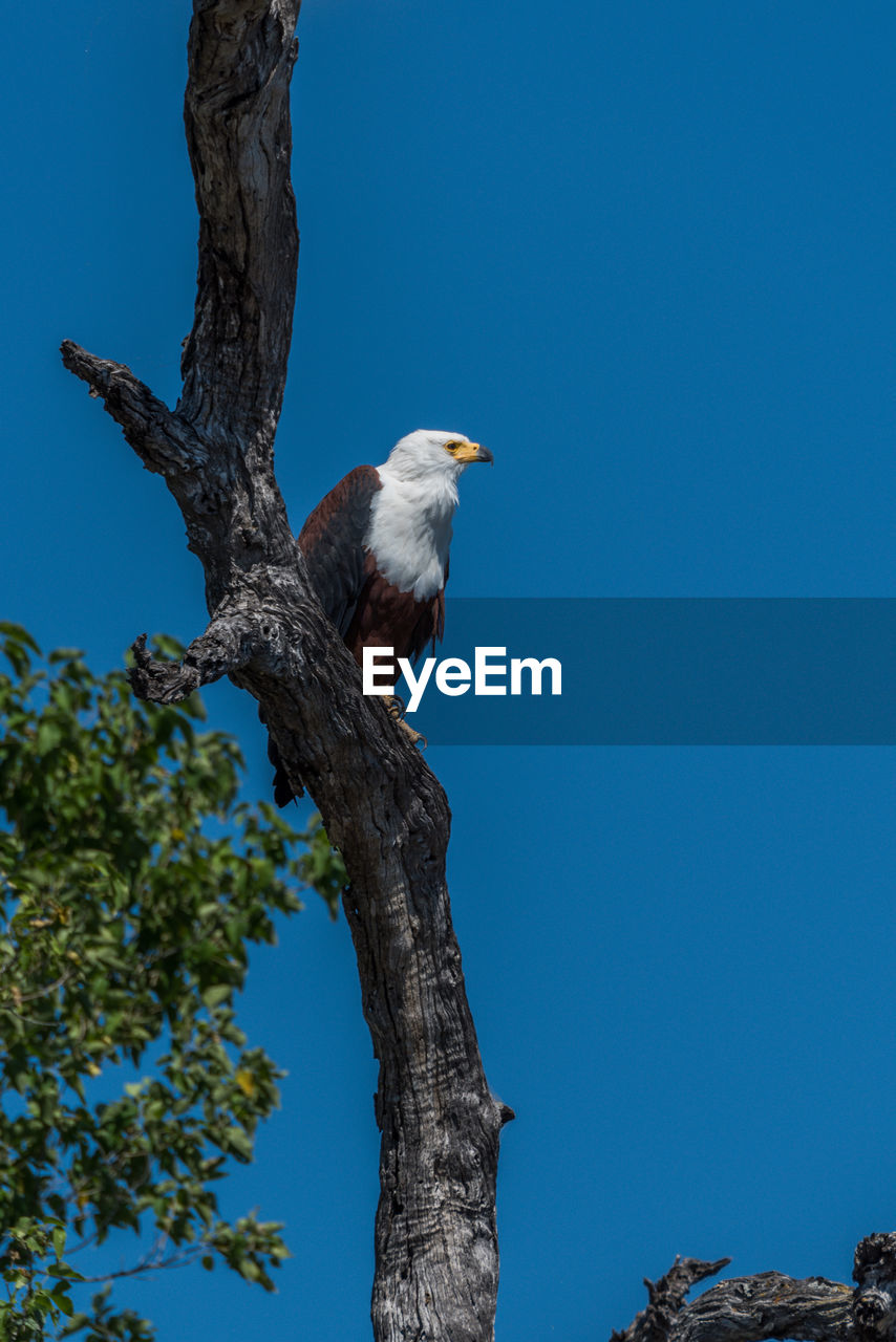 Low angle view of bald eagle perching on tree against clear blue sky