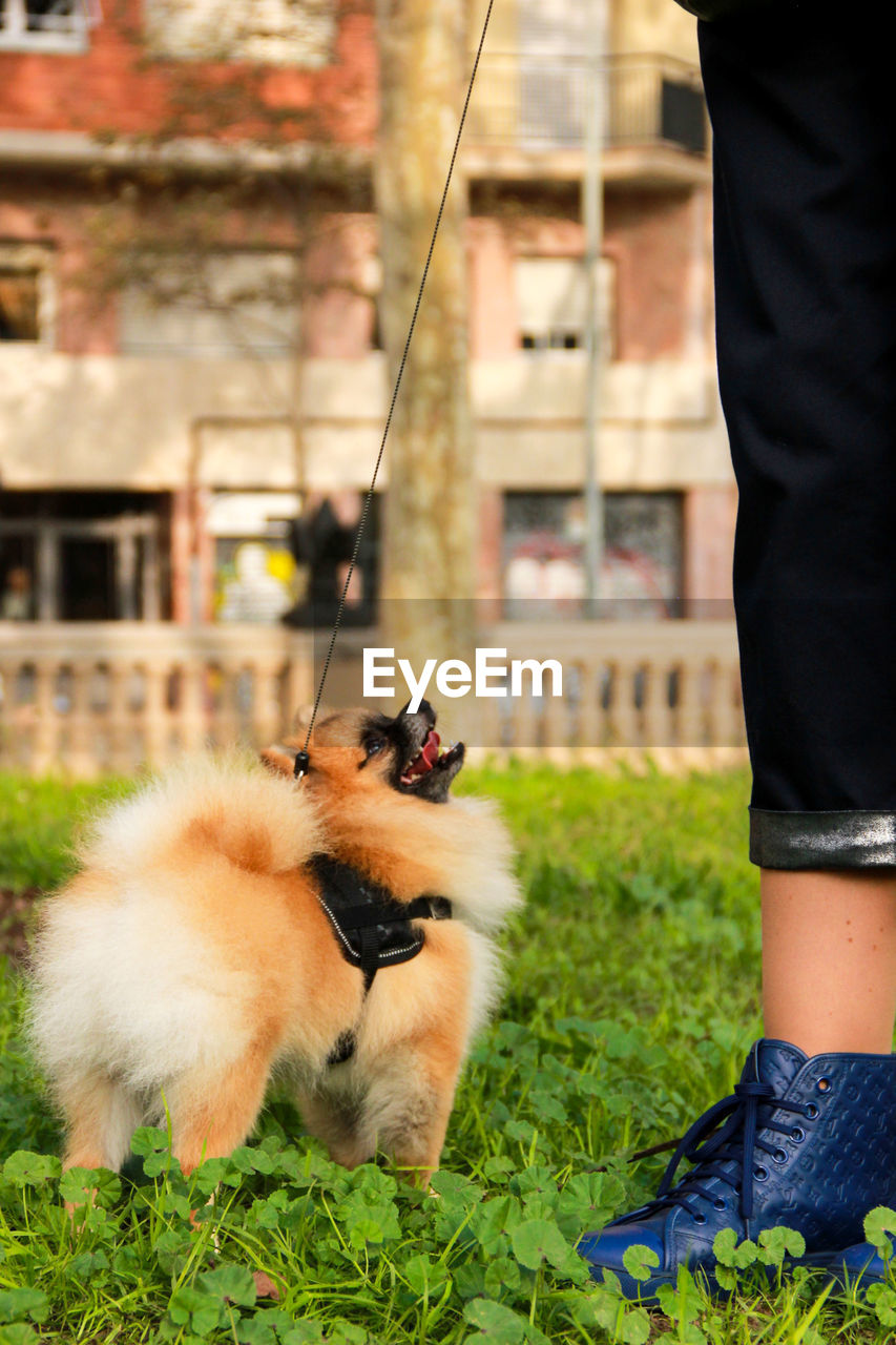 Close-Up Of Pomeranian Standing By Low Section Of Woman On Field