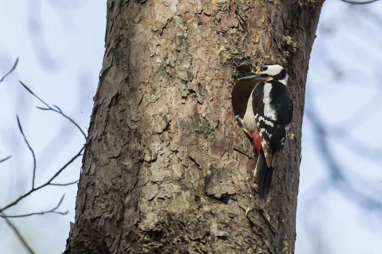 trunk, tree trunk, animals in the wild, animal themes, vertebrate, animal, animal wildlife, tree, one animal, bird, plant, focus on foreground, woodpecker, perching, nature, no people, day, plant bark, branch, textured, outdoors