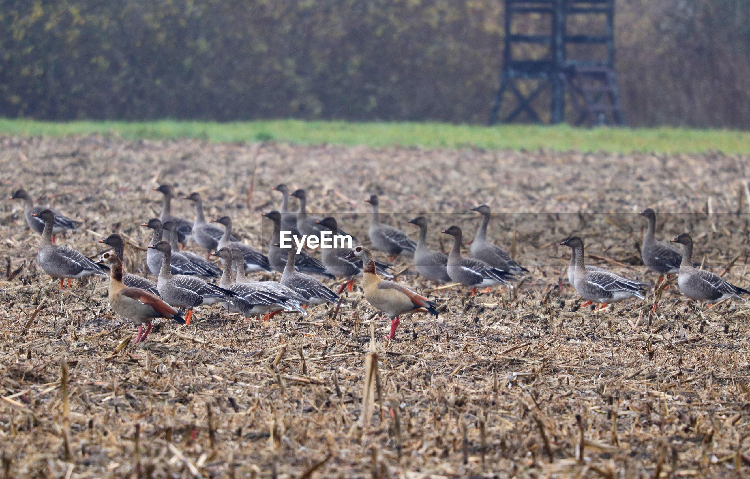 FLOCK OF BIRDS IN FIELD