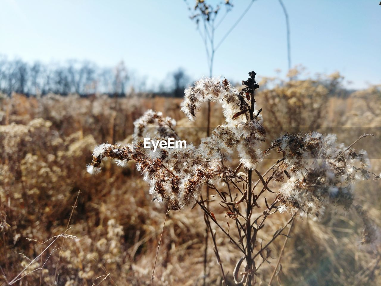 plant, day, flower, land, nature, field, flowering plant, no people, selective focus, fragility, focus on foreground, beauty in nature, tranquility, close-up, dry, vulnerability, growth, sky, sunlight, tree, outdoors, dead plant