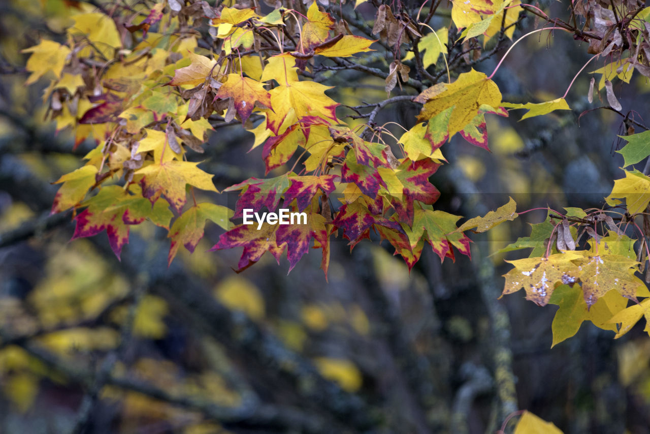 plant, growth, beauty in nature, plant part, leaf, tree, change, close-up, branch, autumn, day, no people, nature, focus on foreground, yellow, outdoors, tranquility, selective focus, vulnerability, fragility, maple leaf, leaves, natural condition
