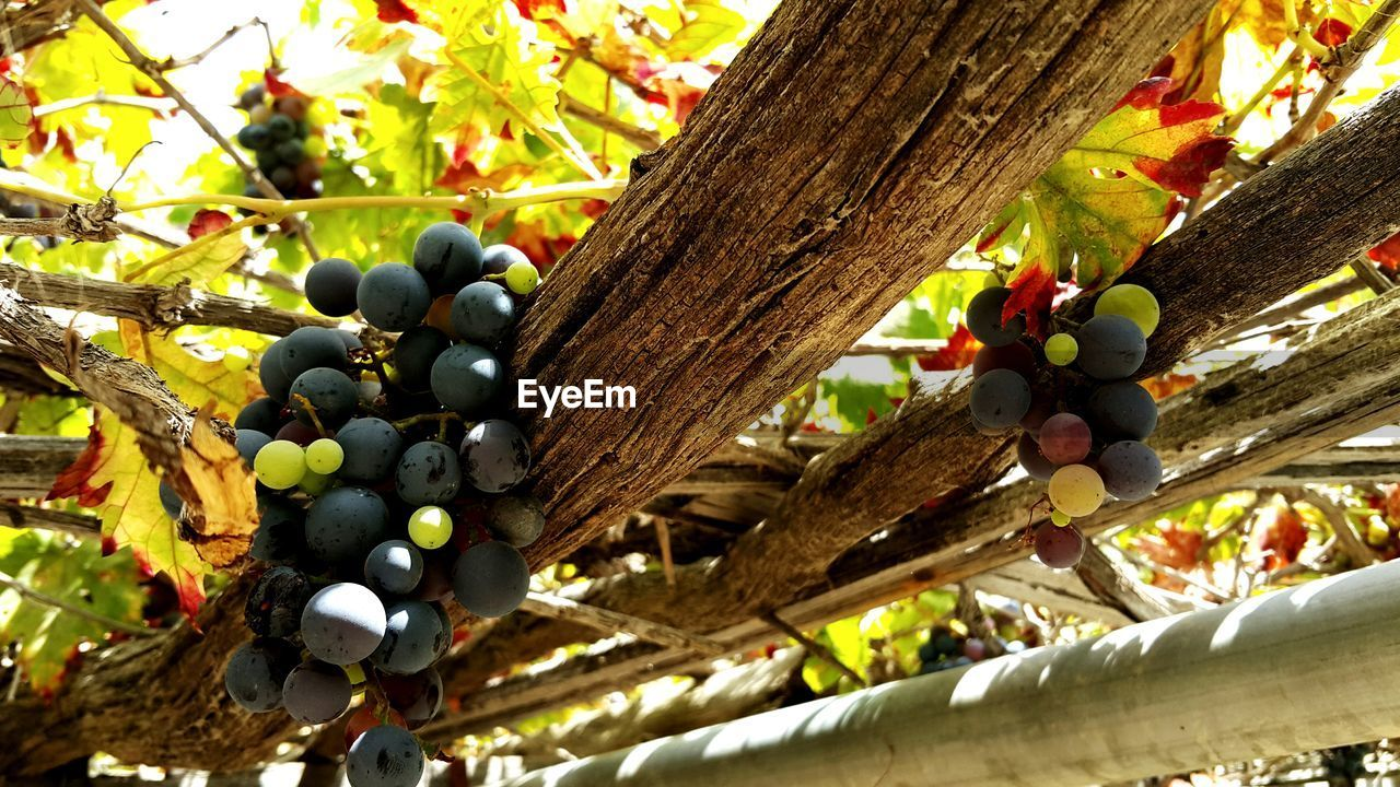 tree, fruit, food and drink, no people, day, wood - material, tree trunk, grape, food, growth, outdoors, close-up, nature, branch, healthy eating, freshness