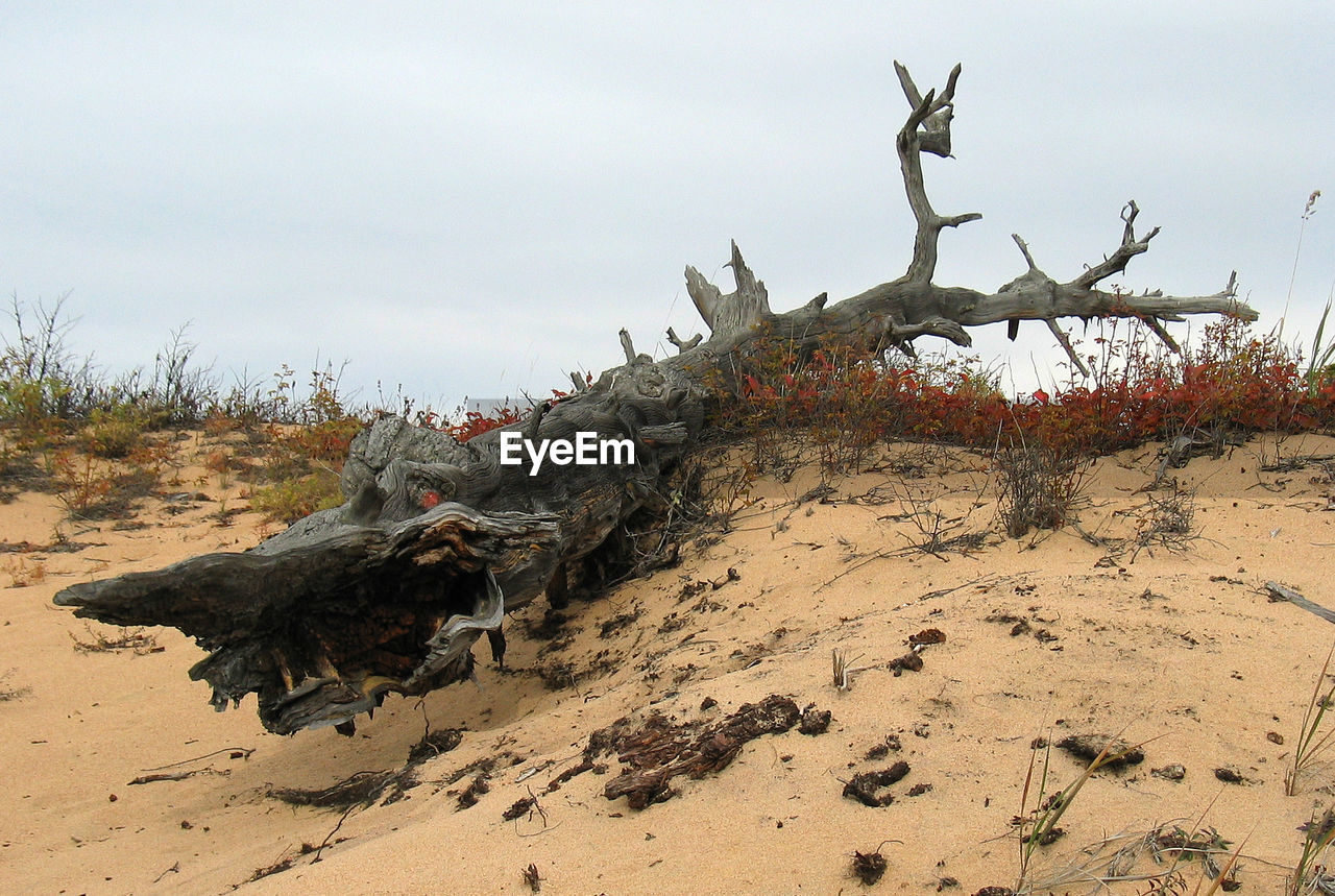 day, sand, outdoors, sky, nature, no people, animal themes, animals in the wild, statue, beauty in nature, tree, dead tree, mammal