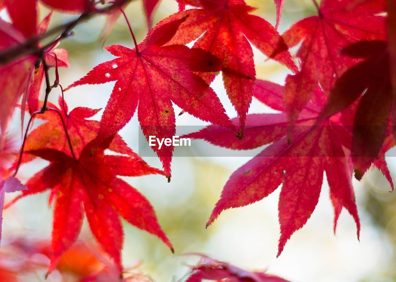 autumn, leaf, change, maple leaf, red, maple tree, beauty in nature, nature, maple, close-up, selective focus, no people, day, growth, focus on foreground, outdoors, fragility, branch