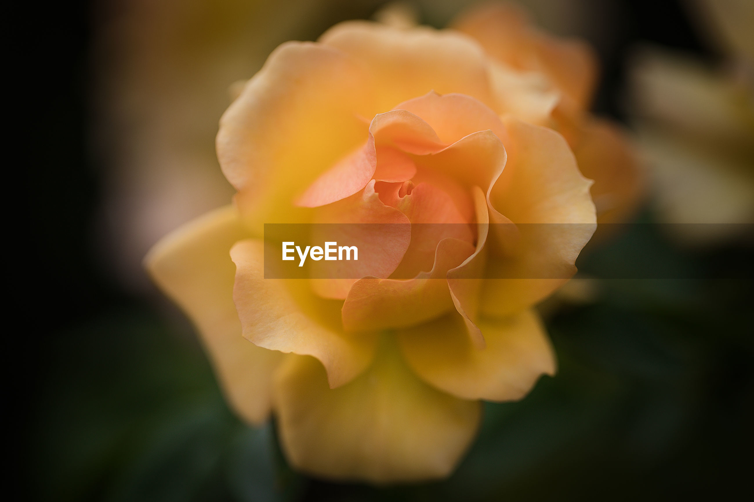 Close-up of rose against blurred background
