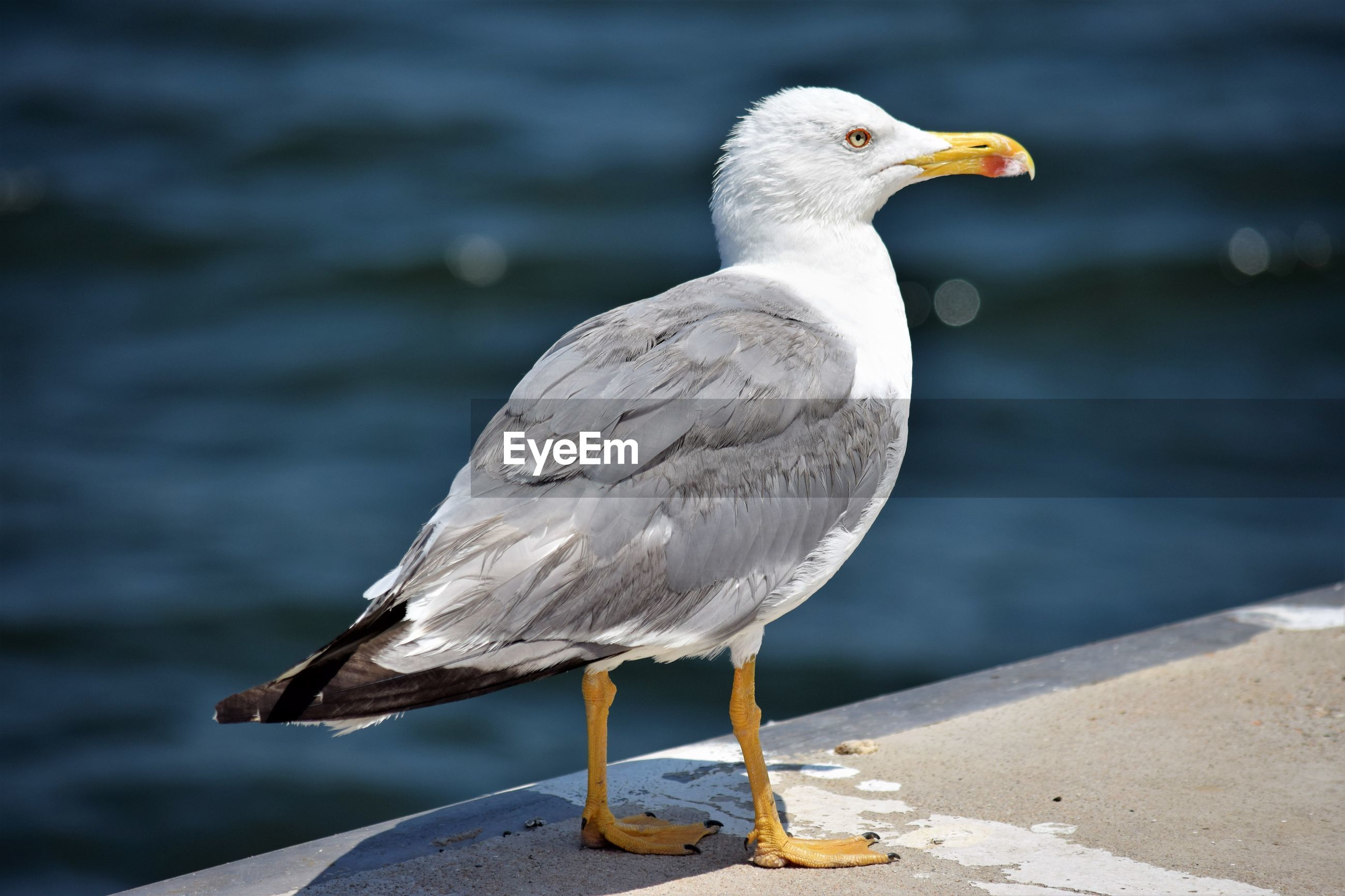 CLOSE-UP OF SEAGULL PERCHING ON SEA