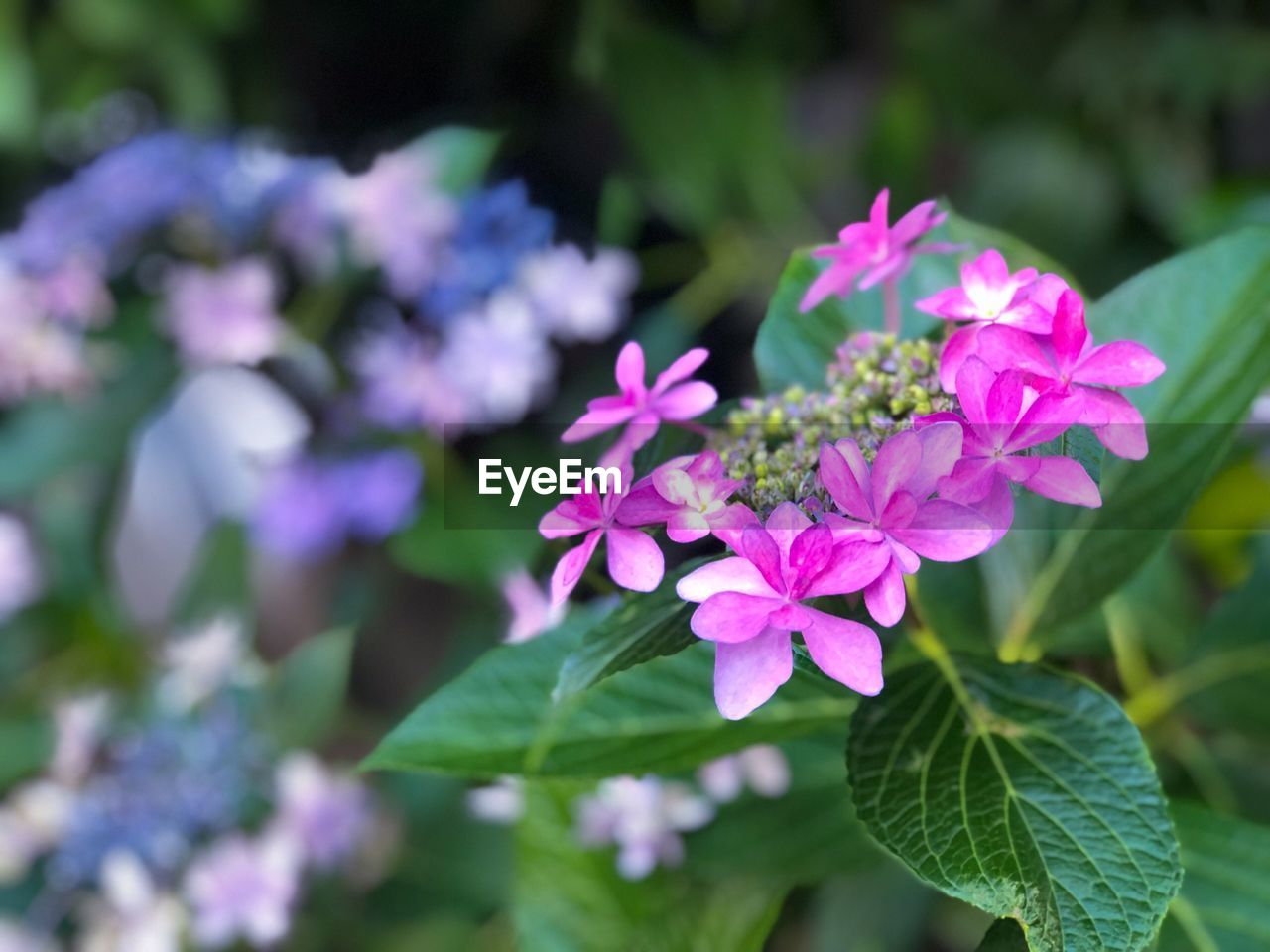 flowering plant, flower, plant, freshness, vulnerability, beauty in nature, petal, fragility, growth, pink color, inflorescence, close-up, plant part, flower head, leaf, nature, day, focus on foreground, no people, outdoors, purple, bunch of flowers