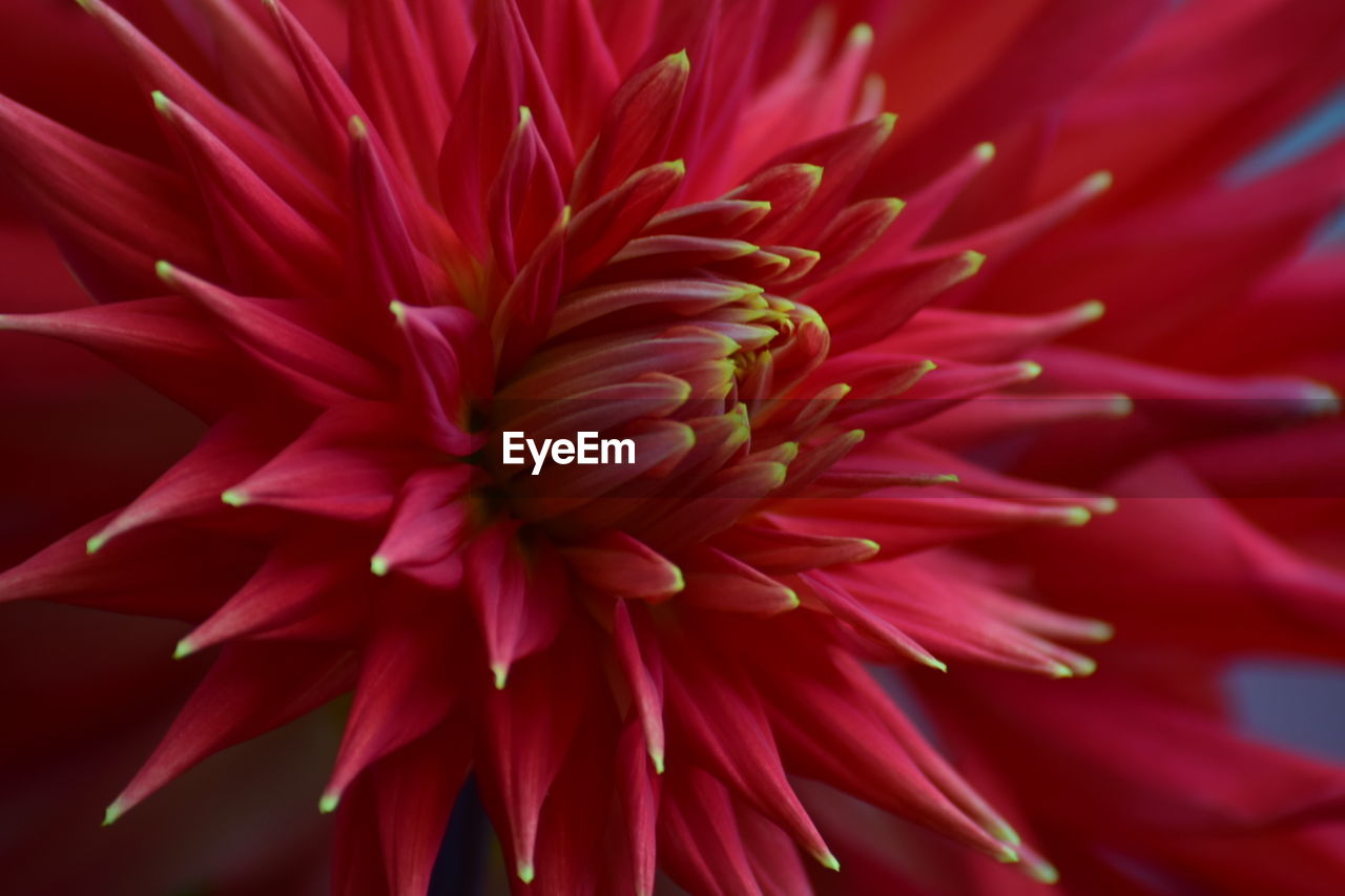 flower, petal, growth, nature, beauty in nature, fragility, flower head, plant, red, freshness, no people, blooming, full frame, close-up, backgrounds, outdoors, day