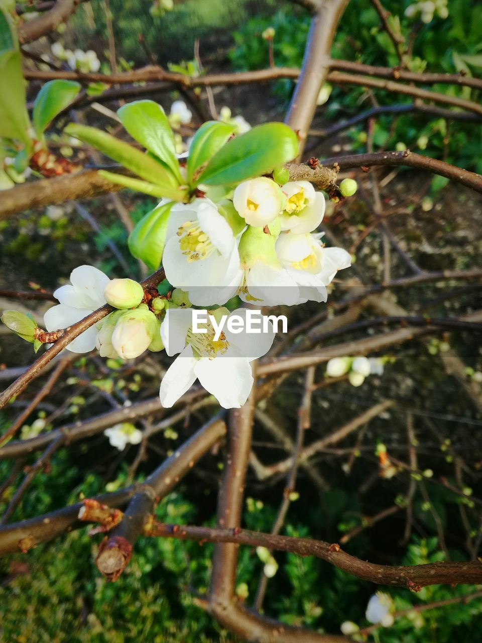 growth, flower, fragility, white color, nature, beauty in nature, tree, blossom, freshness, twig, day, botany, no people, orchard, close-up, apple blossom, focus on foreground, petal, branch, outdoors, springtime, plant, flower head, blooming