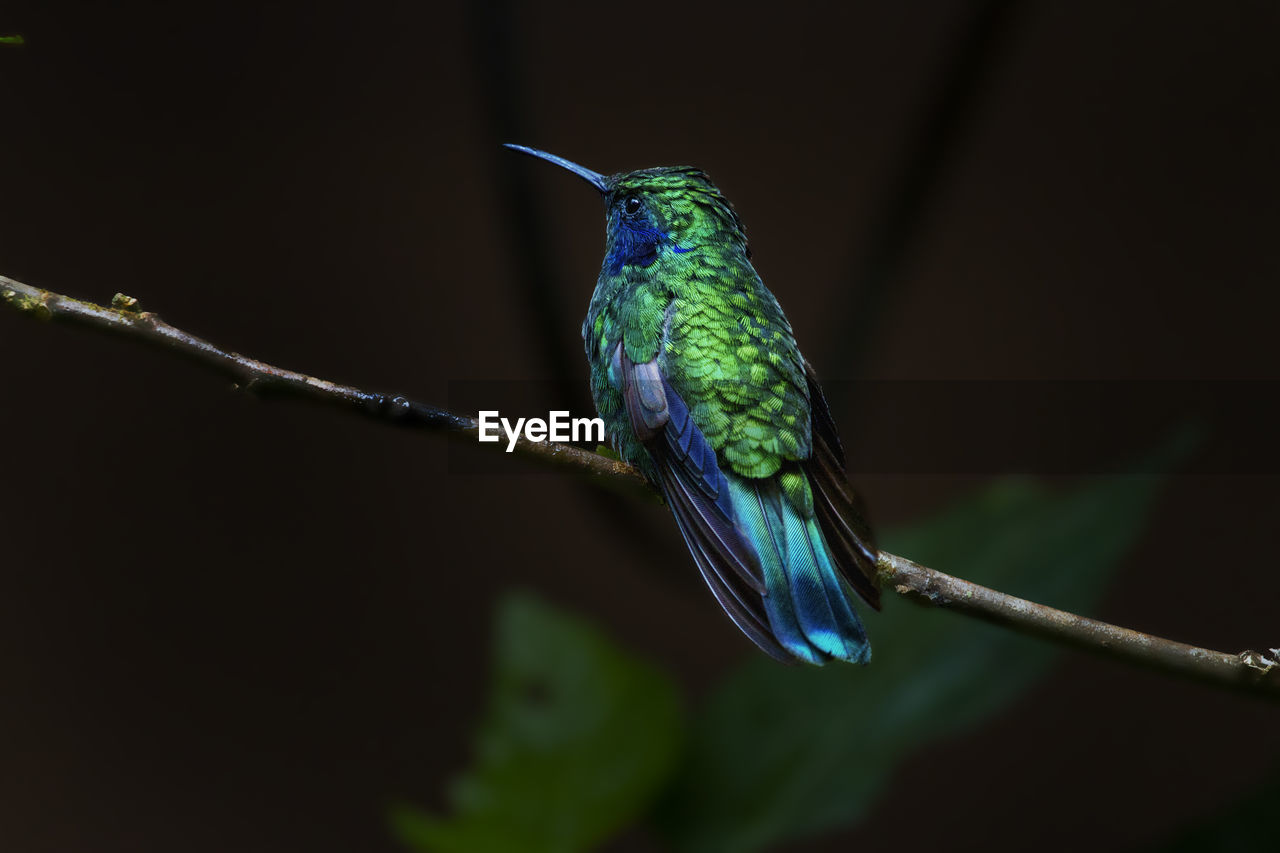 animal wildlife, vertebrate, one animal, hummingbird, bird, animal, animals in the wild, animal themes, plant, perching, no people, twig, close-up, focus on foreground, branch, nature, beauty in nature, blue, zoology, green color